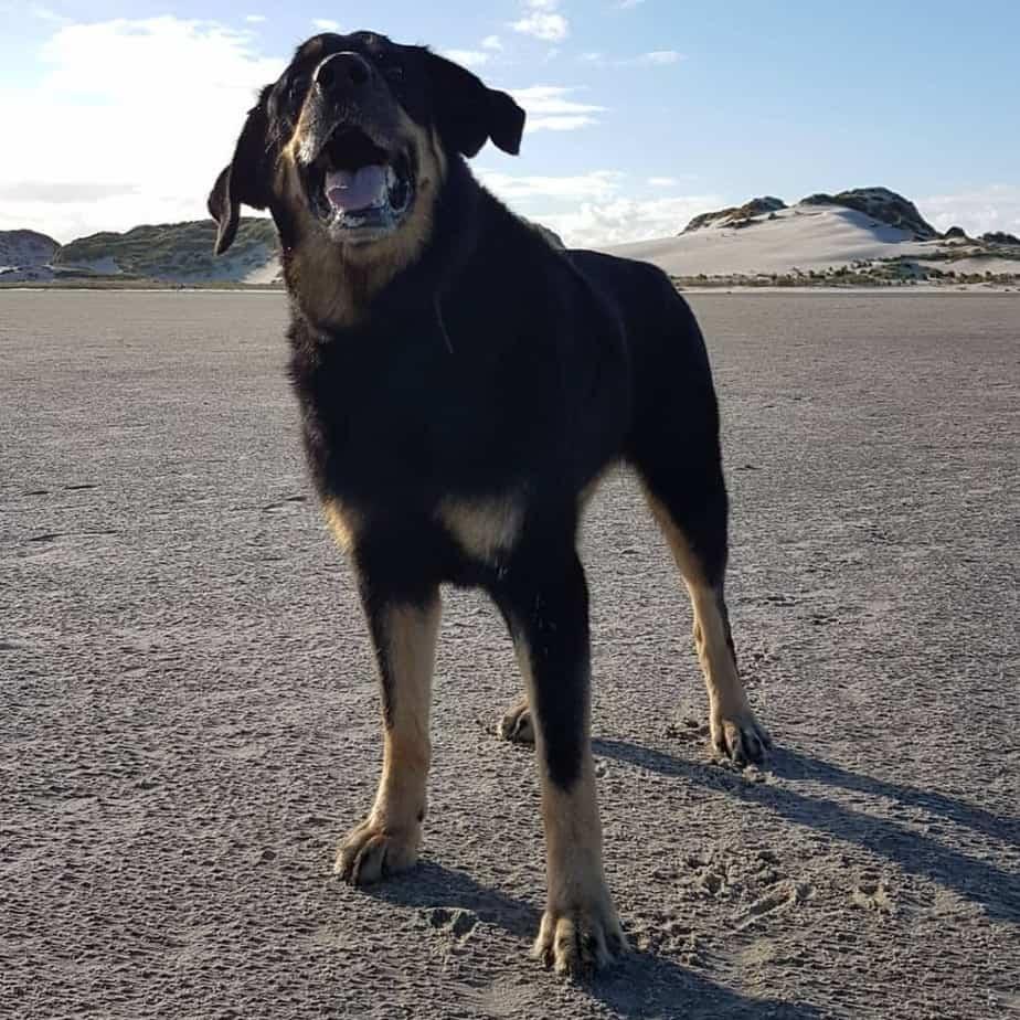 Labrador Schäferhund Mix Lebenserwartung